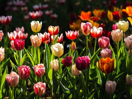 garden flowers: Fresh multi color Tulips with natural sun light. Stock Photo