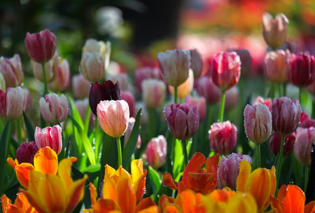 Fresh multi color Tulips with natural sun light. Stock Photo