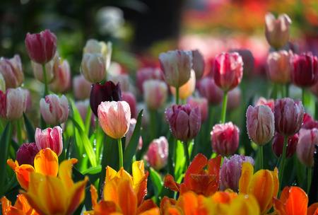 ramo de flores: Tulipanes frescos de varios colores con la luz natural del sol.