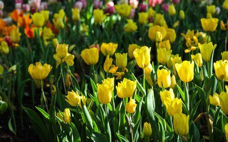 ramo de flores: Tulipanes de color amarillo fresco con luz natural. Foto de archivo