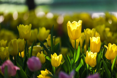 spring season: Fresh yellow Tulips with natural sun light. Stock Photo