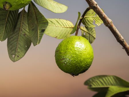 Fresh green Guava hanging on the tree. Stock Photo