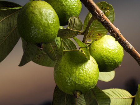 Fresh green Guava hanging on the tree. Lizenzfreie Bilder