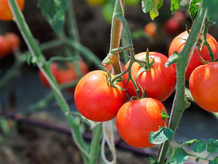 jitomates: Tomates frescos en la luz del d�a. Foto de archivo