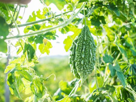 bitter gourd in the garden with day light. Stock Photo