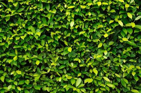 Green leaf hedge background