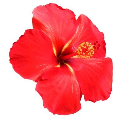 hibisco: Hibisco rojo sobre fondo blanco