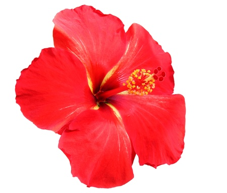 hibiscus: Red Hibiscus on white background Stock Photo