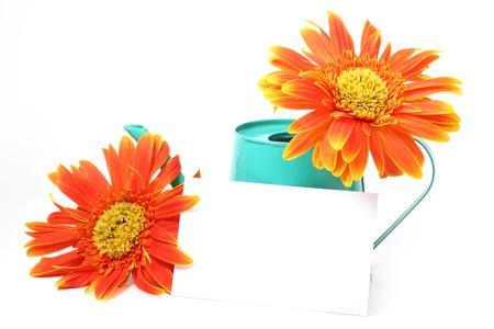 barberton daisy: Orange Gerbera Daisy on White Background. Stock Photo