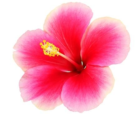 Hibiscus op een witte achtergrond