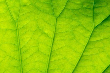 lotus leaf: Green Lotus leaf