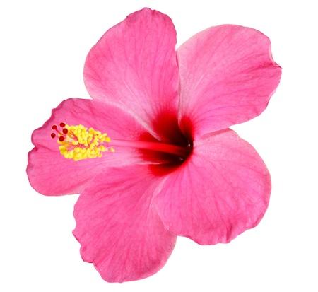 hibisco: Hibiscus rosa sobre fondo blanco