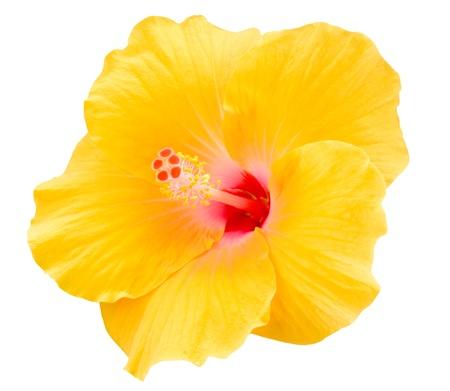 Yellow Hibiscus op een witte achtergrond