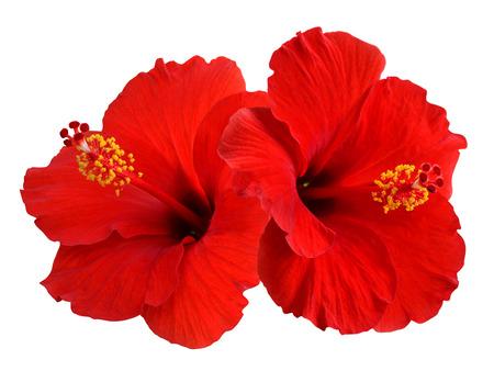 Hibiscus on white  Standard-Bild