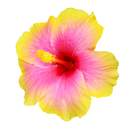 Hibiscus on white background 스톡 콘텐츠