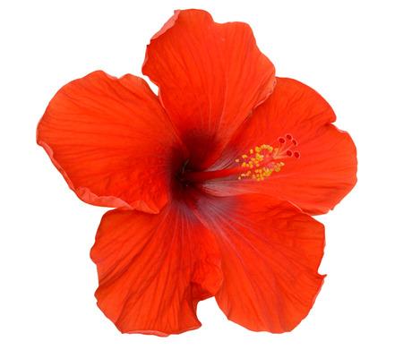 Red Hibiscus on white background Reklamní fotografie