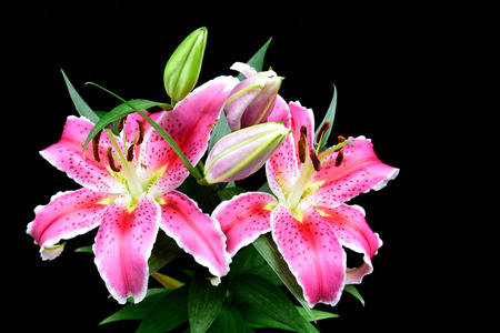 Pink lily on black background