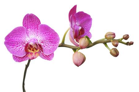 Orchideeën op witte achtergrond