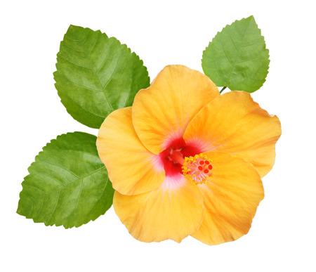 Hibiscus op witte achtergrond