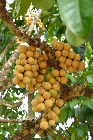 Longkong langsat on its tree.