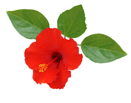 china rose: Red Hibiscus on white background Stock Photo
