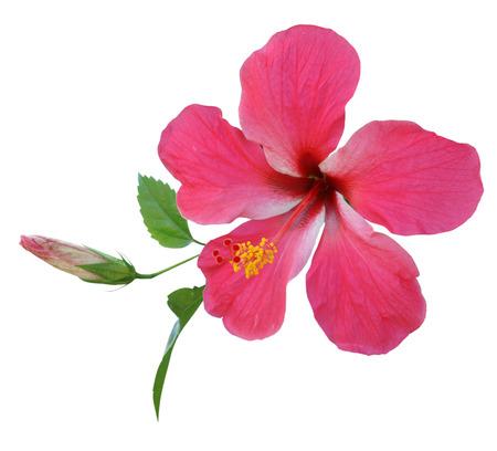 Roze Hibiscus op witte achtergrond