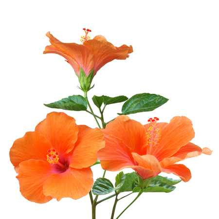 Orange Hibiscus on white background with path