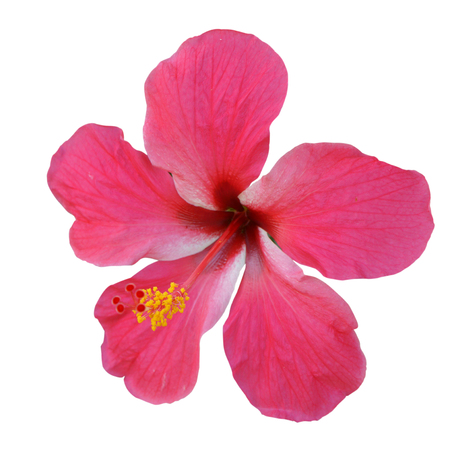 Pink Hibiscus on white background