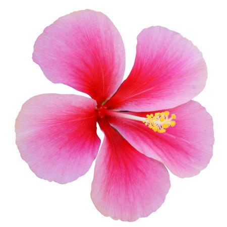 Roze Hibiscus op een witte achtergrond met pad