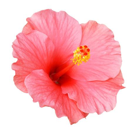 Pink Hibiscus Standard-Bild - 61598165