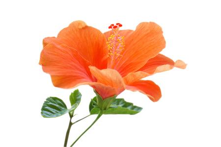 Orange Hibiscus  Standard-Bild - 61598178