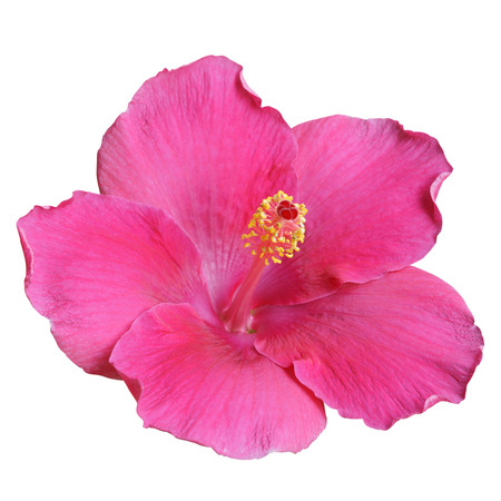Purple Hibiscus on white background with path