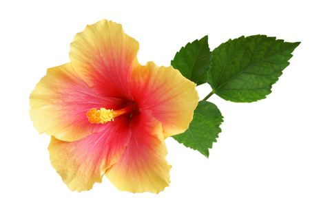 Yellow-pink Hibiscus on white background with path