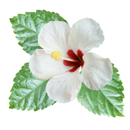 White Hibiscus on white background with path Standard-Bild