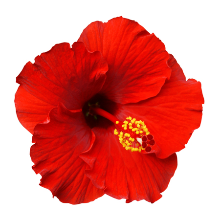 Red Hibiscus on white background with path Standard-Bild
