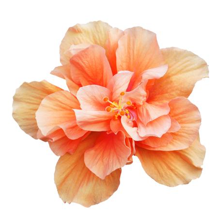Oranje Hibiscus op een witte achtergrond met pad Stockfoto