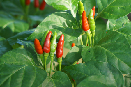 Bird chili grow in the garden.