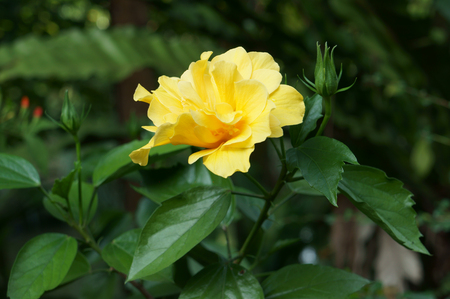 Yellow Hibiscus with green lleaves.