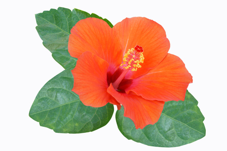 Orange Hibiscus auf weißem Hintergrund mit Pfad Standard-Bild - 74875064