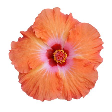 Hibiscus on white background with path