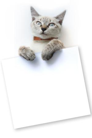 Llittle Thai cat with white board