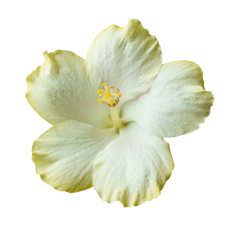 White Hibiscus on white background with path Reklamní fotografie