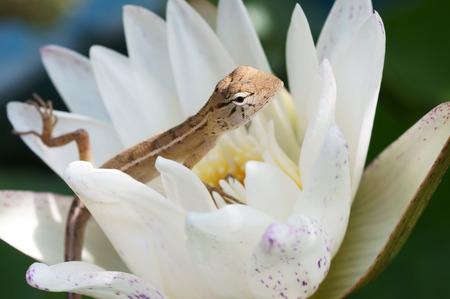 Kleine kameleon hagedis op witte waterlelie Stockfoto