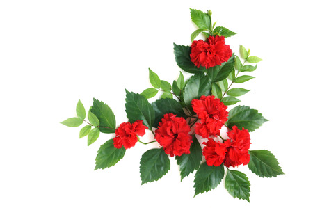 Red Hibiscus arrange with green leaves on white background Standard-Bild