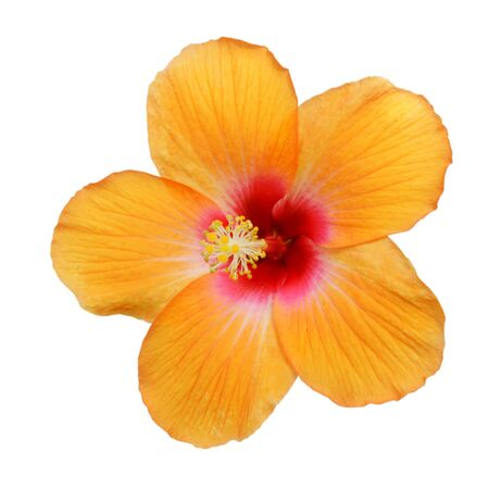 Yellow Hibiscus on white background with path Standard-Bild - 133638237
