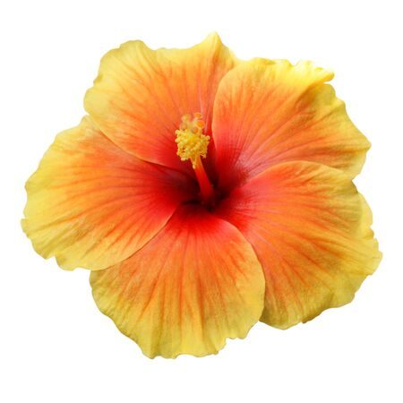 Yellow Hibiscus on white background with path Standard-Bild - 133638238