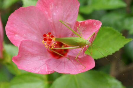 Green Grasshopper on Pink Hibiscus Standard-Bild - 133638241