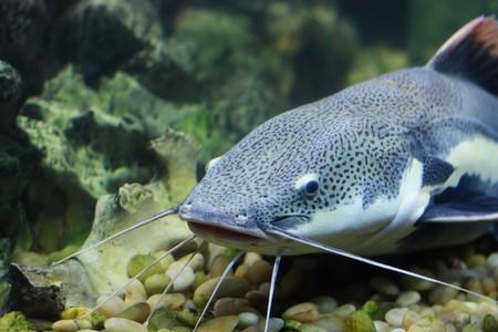 Cat-fish photo