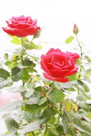 Roses bush photo