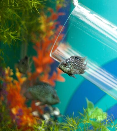Small fish over glass pipe decoration with bubbles in aquarium photo